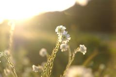 Sunset (mmichalec) Tags: sunset flower flowers kwiaty kwiat plants rośliny nature natura poland fujifilm zachód