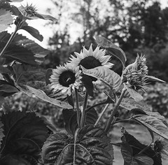 Bee on sunflower (nataliekrovetz) Tags: bnw rolleicord monochrome tmax400 sunflower blackandwhite film analog flower bee nature virginia crozet ilovefilm