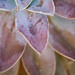 Just the Succulent Leaves