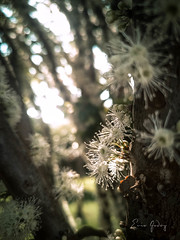 Jabuticabeira Flower 1 (Enio Godoy - www.picturecumlux.com.br) Tags: mobileart celular clouseup simplicity jabuticabeiraflower photomobile niksoftware viveza2 minimalist macro cellularphone huaweip20pro flower minimalism phone huawei huaweimobile mobile mobilephotography p20pro mobilephone h182019setembro16zuleikaraw nature details mobgrafia softness
