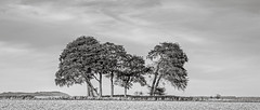 A Charlton Clump From a Different Angle (stevedewey2000) Tags: salisburyplain spta sptacentre landscape copse trees treescape charltonclumps charlton blackandwhite monochrome desaturated bw 2351 sonya99 sony70400g