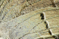 Gray Hairstreak Butterfly Wing (2) (-FlyTrapMan-) Tags: butterfly macro nature wildlife insect bug