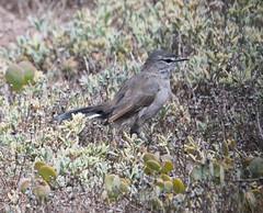Karoo Scrub-Robin (Cercotrichas coryphaeus)-3053 (Dave Krueper) Tags: africa aves bird birds kasr landbird muscicapidae passeriformes passerine scrubrobin southafrica