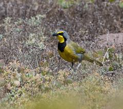 Bokmakieerie (Telophorus zeylonus)-3107 (Dave Krueper) Tags: africa aves bock bird birds landbird malaconotidae passeriformes passerine southafrica