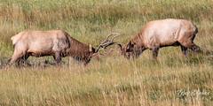Battling elk bulls