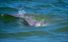 Ocean Sunfish (Mola mola) - ten feet off the shore (Steve Arena) Tags: racepoint provincetown barnstablecounty massachusetts 2019 nikon d750 bird birds birding racepointbeach rpb molamola oceansunfish