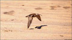 Whimbrel (Numenius phaeopus) (Steve Arena) Tags: racepoint provincetown barnstablecounty massachusetts 2019 nikon d750 bird birds birding racepointbeach rpb numeniusphaeopus whimbrel