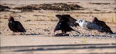 Turkey Vulture (C. aura) working a dead Merlin (F. columbarius) (Steve Arena) Tags: racepoint provincetown barnstablecounty massachusetts 2019 nikon d750 bird birds birding rps racepointsouth turkeyvulture cathartesaura tuvu vulture