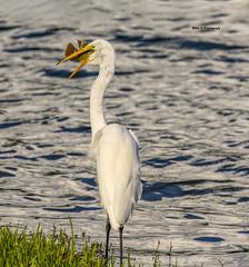 Great egret- lunch time (Mike_FL) Tags: greategretlunchtime nikon nikond7500 nature tamron100400 florida floridawildlife lunch egret photograph park wildlife bird