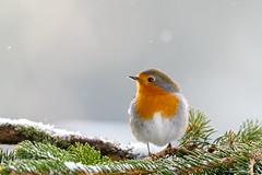 Robin (Hishyar H.) Tags: snow snowing bird vogel bamberg nature wildlife deutschland rotkehlchen animal tier