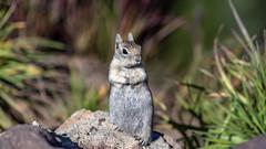 IMG_8889_Golden-Mantled Ground Squirrel_ST (Sergey Tishin) Tags: ground squirrel goldenmantled unioncreek oregon wildlife crater lake rodent