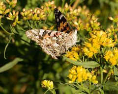 painted lady (crgillette77) Tags: pennsylvania bradfordcounty pisgah butterfly paintedlady vanessacardui