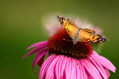 American Lady (kerstynp) Tags: americanladybutterfly butterfly insect flower summer nature purple wildflower outdoors green purpleconeflower