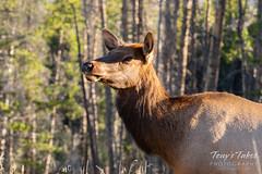 Pretty elk cow