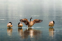 MYSTY WATERS (Sandy Hill :-)) Tags: birds geese canadageese canadiangeese preening misty water ocean shallow feathers birdsofthepacificnorthwest nature shorebirds action sandyhillphotography sandyhillphotos birdsofvancouverisland birdsofbc shorebirdsofbc