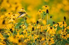 Gold (RWGrennan) Tags: american goldfinch feeding yellow coneflower flower gold bird nature dof hand hollow new lebanon york outdoors rwgrennan rgrennan ryan grennan nikon d610 tamron 150600 spinus tristis