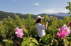 Vẻ đẹp khó cưỡng ở thung lũng hoa hồng Bulgaria (quynhchi19102016) Tags: ve may bay gia re di bulgaria