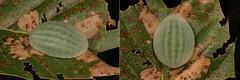 """MUGSHOT - Limacodid Slug Caterpillar (Cup Moth, Belippa horrida, Limacodidae) """"Jelly Bean"""" (John Horstman (itchydogimages, SINOBUG)) Tags: insect macro china yunnan itchydogimages sinobug entomology collage mosaic mugshout cup moth lepidoptera limacodidae slug caterpillar larva jelly bean green jellybean belippa horrida belippahorrida"""