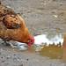 Chicken Drink