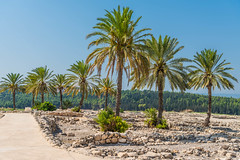 Palm Trees at the Mountaintop of Meguido National Park (SCSQ4) Tags: forest guidedtour hike hikingtrail israel israelbibletours mctv meguido meguidonationalpark ministryofchristthetruevine mountain mountaintop palmtrees saharsaado tour travel vacation