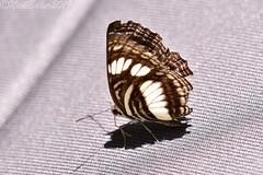 7951 (laba laba) Tags: africa gabon rainforest nature macro closeup insect butterfly ipassa research station ipassaresearchstation ivindonationalpark ivindo national park neptis nysiades neptisnysiades