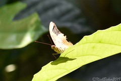 7940 (laba laba) Tags: africa gabon rainforest nature macro closeup insect butterfly ipassa research station ipassaresearchstation ivindonationalpark ivindo national park bebearia seeldrayersi bebeariaseeldrayersi