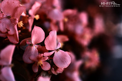Soft Spot (Hi-Fi Fotos) Tags: pink flower plant macro close bokeh petals bloom blossom delicate gentle nature flora garden bed nikkor 105mm micro nikon d7200 dx hififotos hallewell