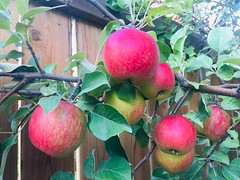 Backyard September Ruby Apples (Mr. Happy Face - Peace :)) Tags: apples autumn fall backyard garden art2019 fence fencefriday yummy red ripe foodieart delicious nutrious nutritious fresh live vitiamins vitamins pesticidefree organic