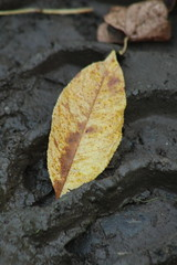Leaf (historygradguy (jobhunting)) Tags: easton ny newyork upstate washingtoncounty leaf leaves fall autumn fallcolors mud