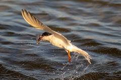 Tern Catching BOGO (dbadair) Tags: outdoor seaside shore sea water nature wildlife 7dm2 7d ii ef100400mm ocean canon florida bird flight