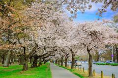416A3654-1 (rfdeng0801) Tags: newzealand 紐西蘭 christchurch cherryblossom 櫻花