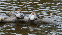 Looking both ways: goosanders, Bridgnorth (Dave_A_2007) Tags: mergusmerganser bird duck goosander nature wildlife