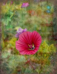 Mallow (Dave Linscheid) Tags: summer flower texture butterfield smartphotoeditor picmonkey usa minnesota mn watonwancounty