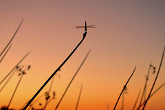 A front row seat... (jeffr71) Tags: sunset sky color dragonfly branch veteransoasis gilbert arizona