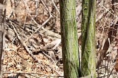 EMBIRATANHA – PSEUDOBOMBAX MARGINATUM (isacsoares) Tags: embiratanha–pseudobombaxmarginatum árvore flora cânon nordeste guanambi bahia caatinga