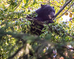 & a Bear in a Pear Tree (ausmc_1) Tags: neighborhood wildlife fall september2019 2019 nextdoor blackbearursusamericanus vancouverisland riverrd canada britishcolumbia d800 fruittree