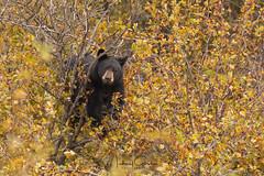 Black Bear Posing (NikonDigifan) Tags: blackbear bear animal mammal nature naturephotography naturesfinest wildlife wildlifephotography montana pacificnorthwest nikond850 nikon nikon20050056 mikegassphotography