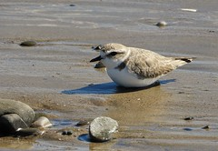 A snowy plover sits at my feet! (Ruby 2417) Tags: endangered threatened rare rarity snowy plover shorebird bird wildlife nature goleta isla vista beach coast shore sea ocean santa barbara