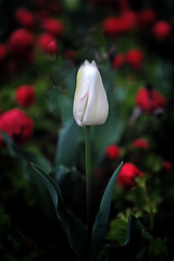 Lone tulip (Maureen Pierre) Tags: flower christchurchbotanicgardens garden fujifilm xt2 macro lone single tulip white