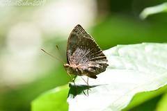 7956 (laba laba) Tags: africa gabon rainforest nature macro closeup insect butterfly ipassa research station ipassaresearchstation ivindonationalpark ivindo national park euriphene karschi euriphenekarschi
