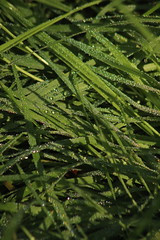 Grass (historygradguy (jobhunting)) Tags: easton ny newyork upstate washingtoncounty grass green water droplets drops