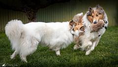 Spring Fever Collies (pkwebbk70) Tags: canoneosr collie dogs garden merlin morganwhitecollie play roghcoatedcollie sablemerlecollie canon exifdaten favoriten