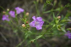 Sights From Today's Hike (Bernie Emmons) Tags: arborhillsnaturepreserve wildflowers texas plano macro pink green nature hiking flower