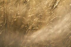 the nature of things (26) (birdcloud1) Tags: grass grassseed light cyclic seasonal patience simplethings golden thesecretlifeofplants plantlife plants simplicity lightcycle canoneos80d eos80d helios44258 helios442 amandakeogh amandakeoghphotography birdcloud1 thenatureofthings