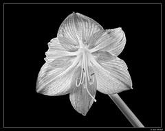 Amaryllis (Ken Mickel) Tags: amaryllis beautiful fineart floral flower flowers kenmickelphotography plants blackandwhite blossom blossoms botanical closeup nature photography