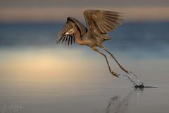 Little Blue Heron (Frank Schauf Photography) Tags: animal bird blaureiher egrettacaerulea florida littleblueheron nordamerika northamerica tier usa vogel