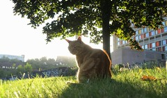 warm sun, warm cat (simon edge) Tags: cat feline backlit sheffield grass tree