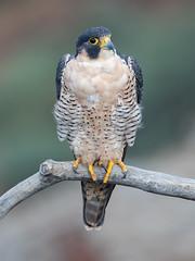 Peregrine falcon (F) (knobby6) Tags: peregrinefalcon raptor birdofprey falcon nikond5 pf500mm