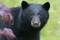 Close Encounter (Tim Melling) Tags: ursusamericanus vancouveri american black bear canada vancouver island timmelling