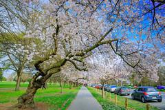 416A3373-1 (rfdeng0801) Tags: newzealand 紐西蘭 christchurch cherryblossom 櫻花